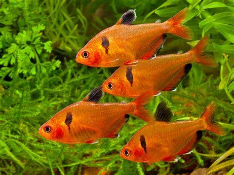 serpae tetra hyphessobrycon eques serpae tetra hyphessobrycon callistus hyphessobrycon serpae