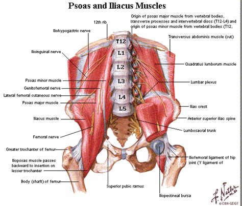 Hip anatomy can be very confusing. Me and My Hipster: Me and My Psoas
