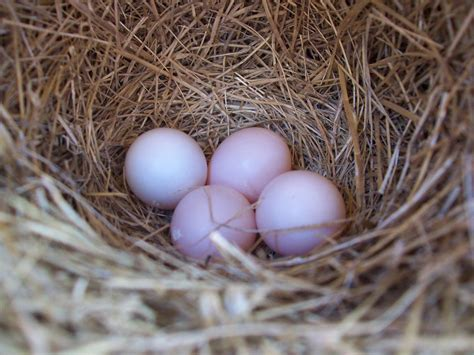 Sialis picture of the week - Pink bluebird eggs