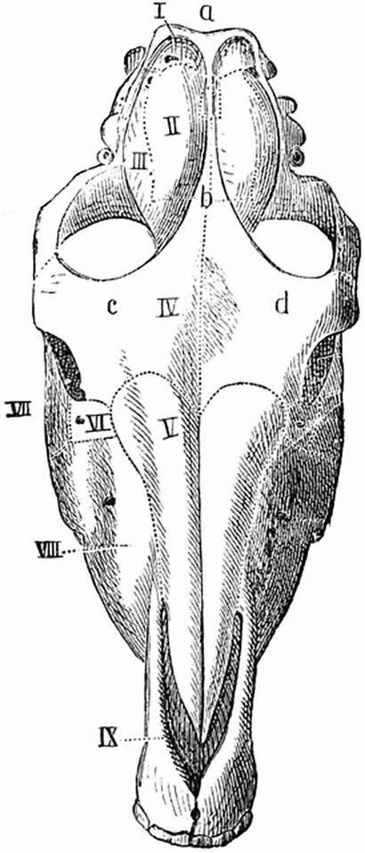 Skull Horse Clipart Above Seen Etc