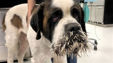 prickly problem dog   mouthful  porcupine quills