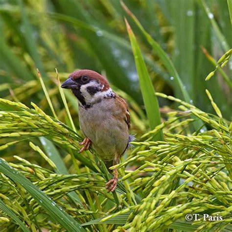birds irri rice knowledge bank