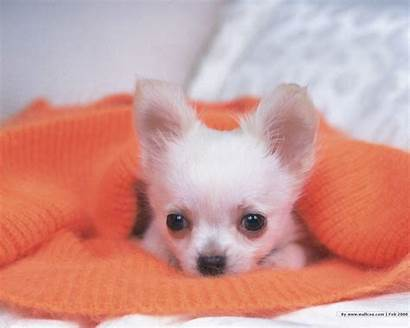 Puppy Desktop Puppies Dog Wallpapers Chihuahua Dogs