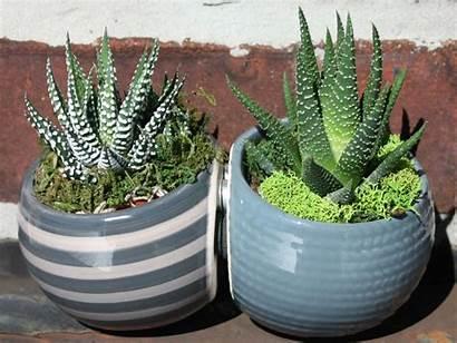 Zebra Plant Care Plants Grow Succulents Succulent