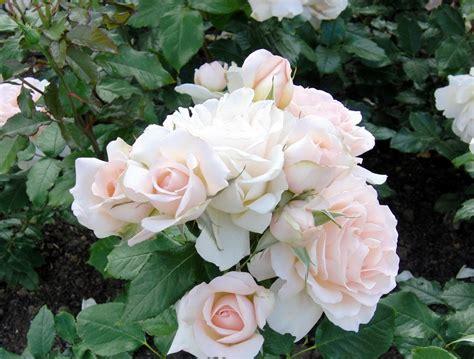 Tanaman Bunga Yang Cantik Informasi Seputar Tanaman Hias