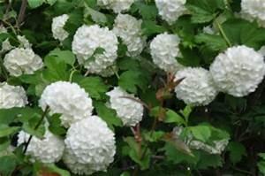 arbuste design With decoration d un petit jardin 15 boule de neige plante en ligne