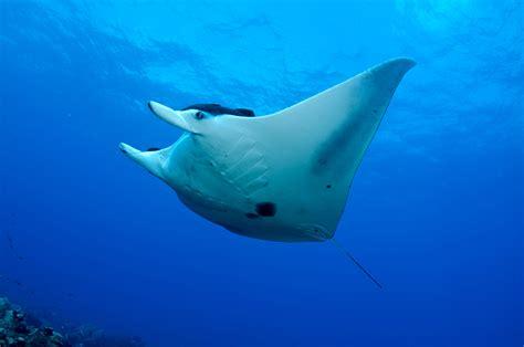 manta ray underwater photo  wallpaper cute manta ray