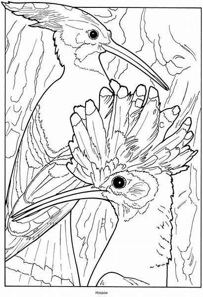 Coloring Pages Birds Exotic Hoopoe Dover Creative