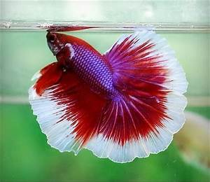 Betta - Salamander. Male Halfmoon. DSC06383 | H2O: Betta ...