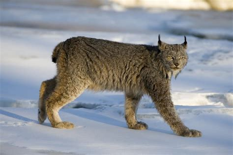 remarkable differences   canadian lynx   bobcat