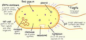 1 2  U2013 Prokaryotic Cells  U2022 A  Biology