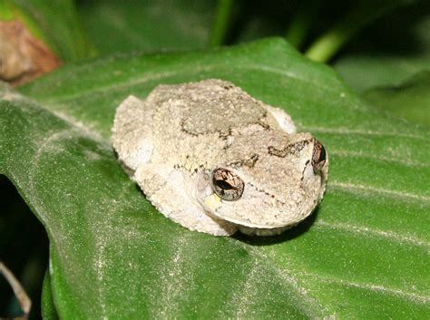 copes  eastern gray tree frog tree frog   sort
