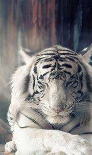 White Tiger Autumn Sunlight 4K Ultra HD Mobile Wallpaper