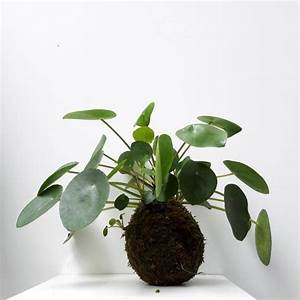 Kokedama Selber Machen : peperomioides kokedama pilea kokedama plants bonsai a string garden ~ Orissabook.com Haus und Dekorationen