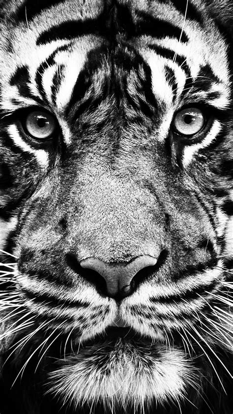 Black tiger wallpaper wallpapers we have about (3,243) wallpapers in (1/109) pages. Tiger - The iPhone Wallpapers