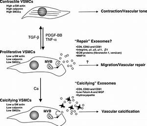 Vascular Smooth Muscle Cell Calcification Is Mediated By
