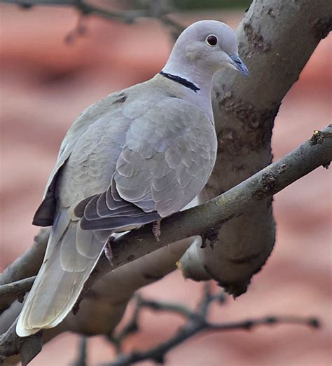 grey dove with black ring around neck eurasian collared dove looks a lot like a pigeon or mourning dove look for the ring at the