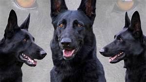 46 Best Black German Shepherd Pictures