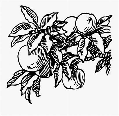 Tree Peaches Clip Vector Peach Clipart Fruit