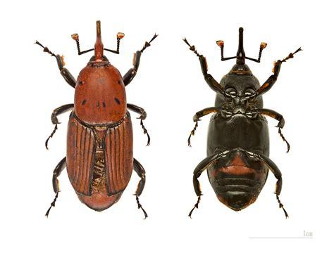 https://species.wikimedia.org/wiki/Rhynchophorus_ferrugineus