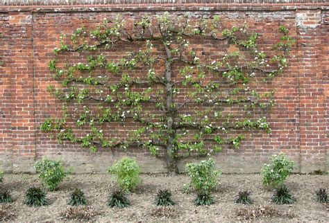 espalier fig trees for sale espalier fruit trees