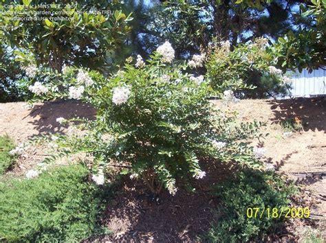 plantfiles pictures japanese crepe myrtle crape myrtle