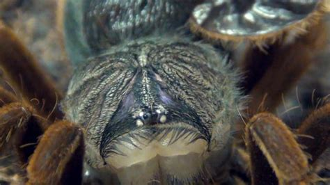Can Tarantulas Shed Their Skin by A Spider Wriggle Out Of Its Skin
