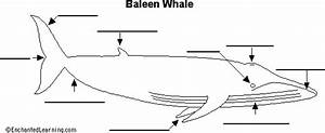 Baleen Whale Anatomy Diagram To Label