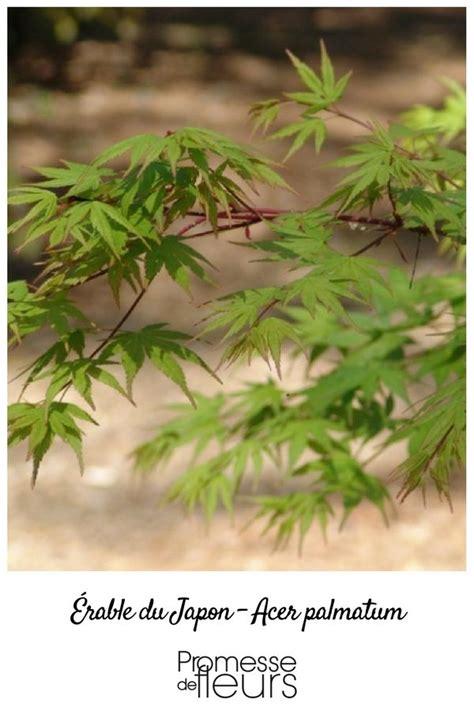 lerable du japon dans toute sa splendeur cet arbuste est apprecie pour ses feuilles vert