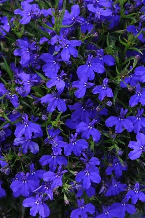 lobelia dark erinus magadi basket plant plants