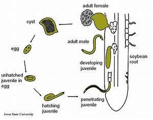Soybean Cyst Nematode Life Cycle