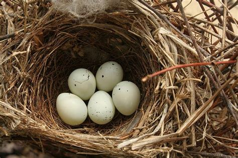 finches add cigarette butts to their nests to ward off