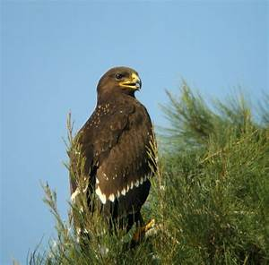 Lesser Spotted Eagle - BirdForum Opus