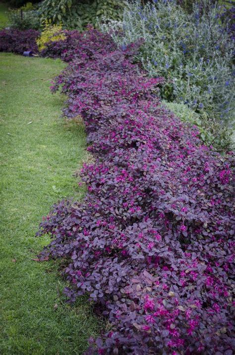 evergreen flowering shrubs for sun loropetalum plum gorgeous creating dramatic foliage contrast in garden beds mass planting