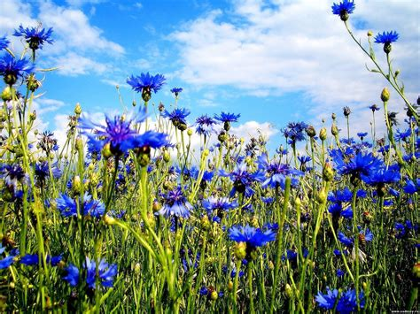 blue summer flowers blue summer flowers wallpapers and images wallpapers pictures photos