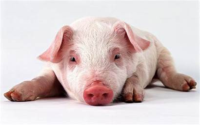 Pig Wallpapers Funny Pigs Piggy Piglet Cave