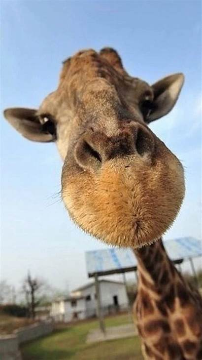 Animal Funny Animals Wallpapers Backgrounds Giraffe Iphone
