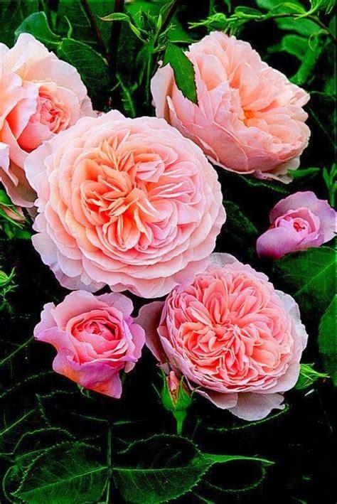 alte rosensorten stark duftend abraham darby eine alte david stark und