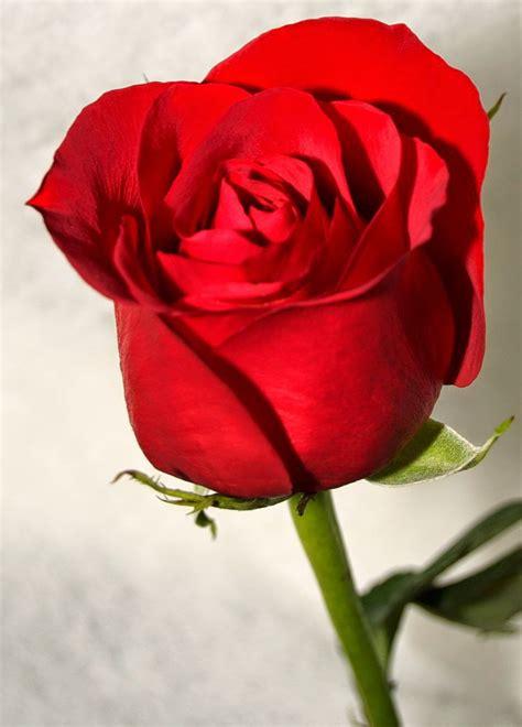 We did not find results for: Kumpulan Gambar Bunga Mawar Keren - Bunga Id