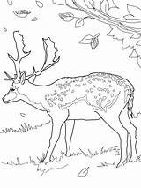 Deer Coloring Pages Printable Animal sketch template