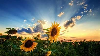 Sunflower Wallpapers Sunflowers Desktop Backgrounds Sun Flower