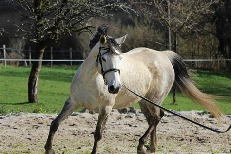 horse arabian hind end cost much breed they breeds fastest horses