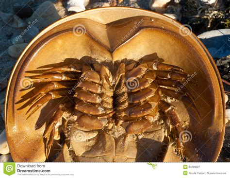 horseshoe crab ventral closeup stock image image