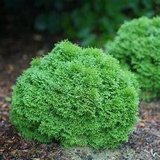 Tiny Tot™  Arborvitae  Thuja Occidentalis  Proven Winners
