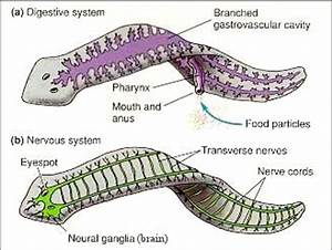 Platyhelminthes - Birds and the Bees