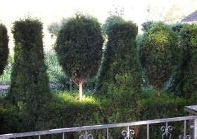 thuja stark zurückschneiden thuja kaufen lebensbaum heckenpflanzen gt hecken kaufen thuja smaragd thuja occidentalis