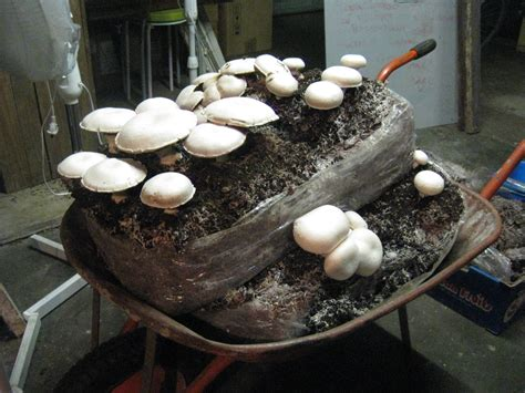 grow mushrooms at home the practical frog blog growing your own mushrooms at home
