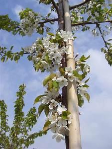 Großen Apfelbaum Kaufen : kaufen sie hier die vogelkirsche als bereits gro en baum in baumschulqualit t wir liefern zu ~ Frokenaadalensverden.com Haus und Dekorationen