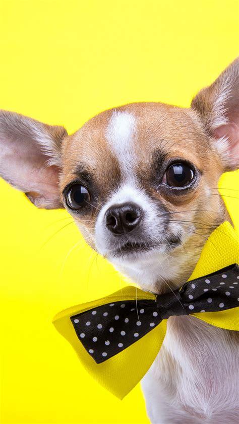 wallpaper chihuahua dog cute animals yellow