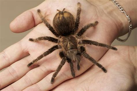 winkelspinne in der wohnung spinnenphobie was menschen mit angst vor spinnen tun k 246 nnen de